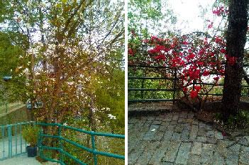 Kachnar Tree and Bougainvillea Trees