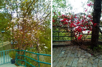 Kachnar Tree and Bougainvillea Trees